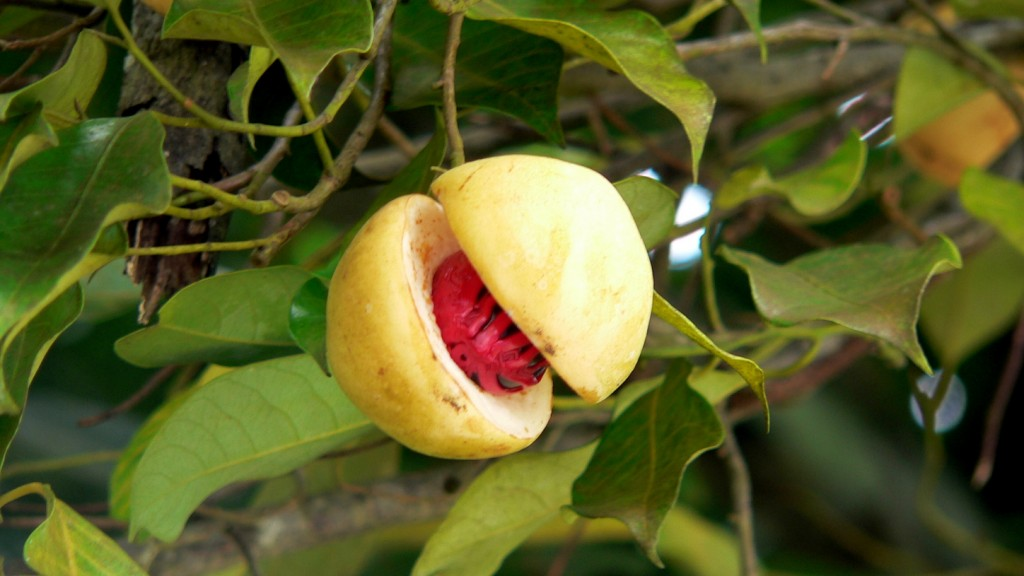 Grenada nutmeg plant close_up, by Lee Coursey, Sep 2011 (1448x815)